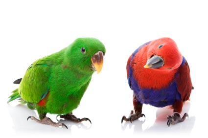 A couple of brightly colored easily visible parrots stare out at the viewer